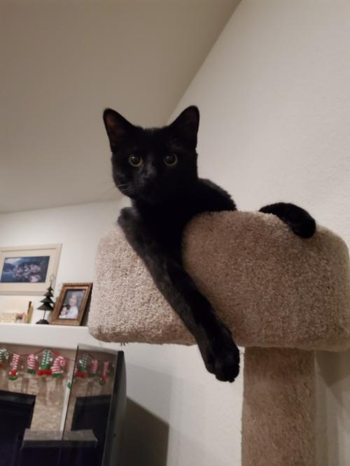 Cinder, an adopted Domestic Medium Hair in Denver, CO