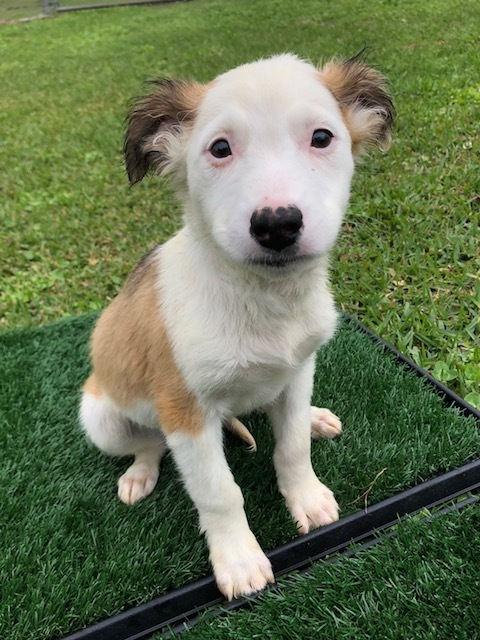 Bonanza, an adopted Australian Shepherd & Collie Mix in Carencro, LA