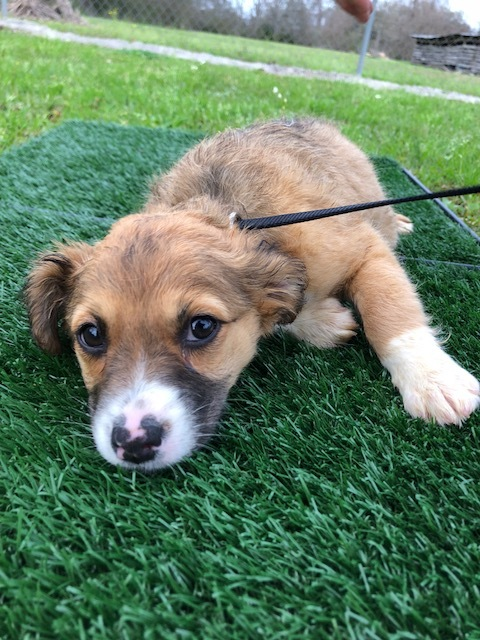 Balloon, an adopted Australian Shepherd & Collie Mix in Carencro, LA