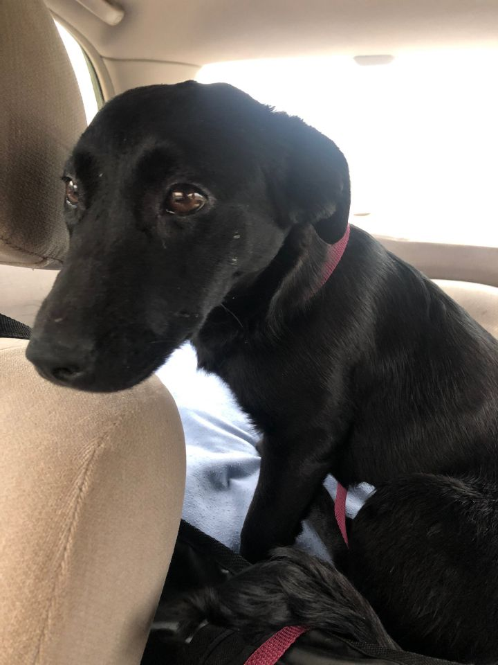 Sasha, an adopted Labrador Retriever Mix in Nashville, TN