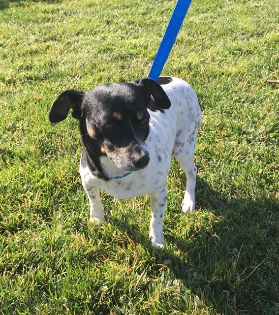 Benny, an adoptable Rat Terrier Mix in Oakdale, CA