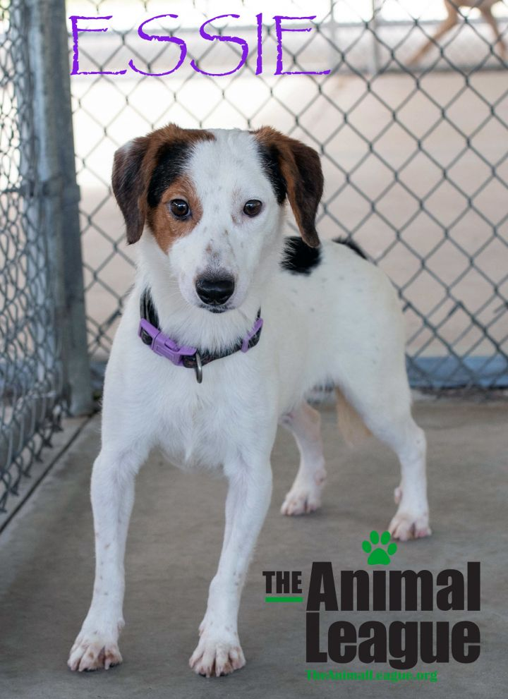 Essie, an adoptable Jack Russell Terrier & Beagle Mix in Clermont, FL