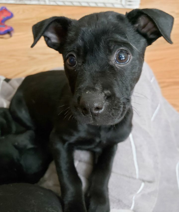 Otto, an adopted Terrier Mix in Schaumburg, IL
