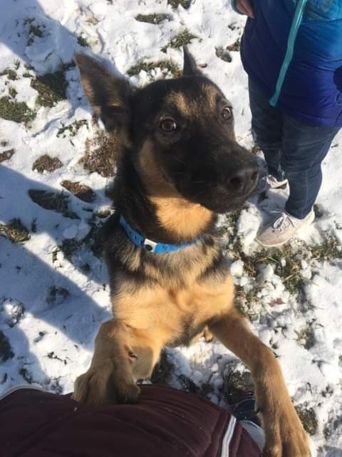 Jalapeno, an adoptable German Shepherd Dog in Jefferson City, MO