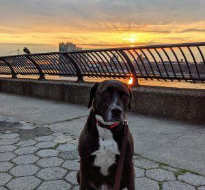 Camille Labrador Retriever Dog