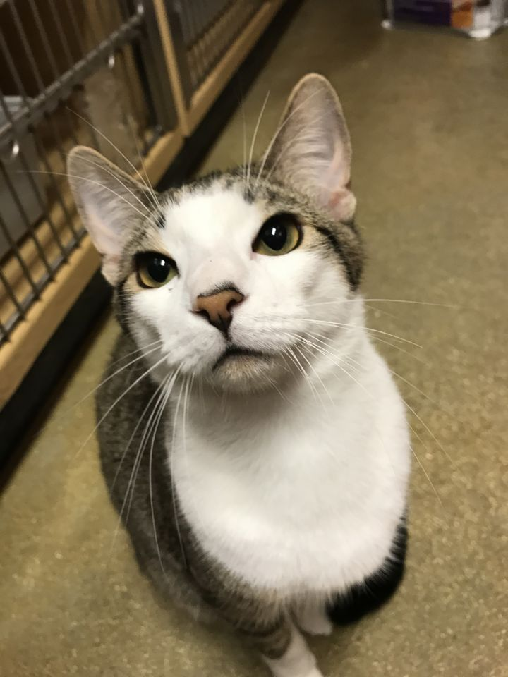 Martin, an adoptable Domestic Short Hair in Fort Lauderdale, FL