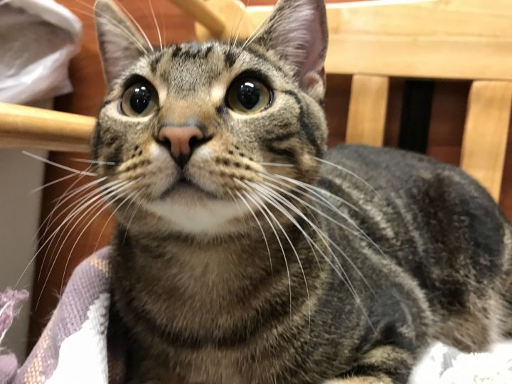 Bubba, an adoptable Domestic Short Hair in Fort Lauderdale, FL