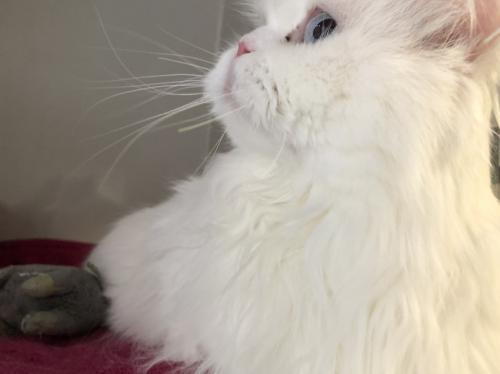 Baxter, an adopted Persian & Ragdoll Mix in Monroe, MI