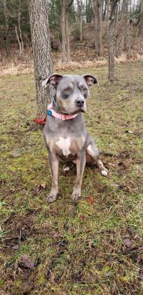 Ella, an adoptable Pit Bull Terrier Mix in Bloomsburg, PA