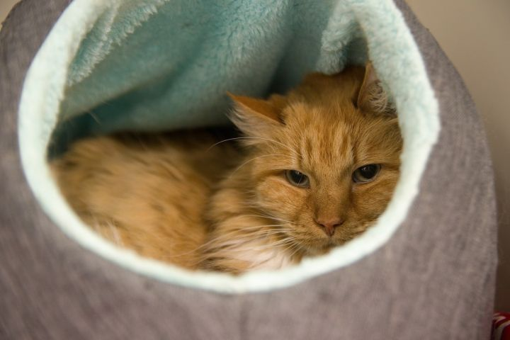 Gelato, an adopted Domestic Long Hair in Bellingham, WA
