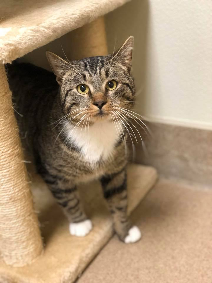 Scott, an adoptable Domestic Short Hair in Myerstown, PA