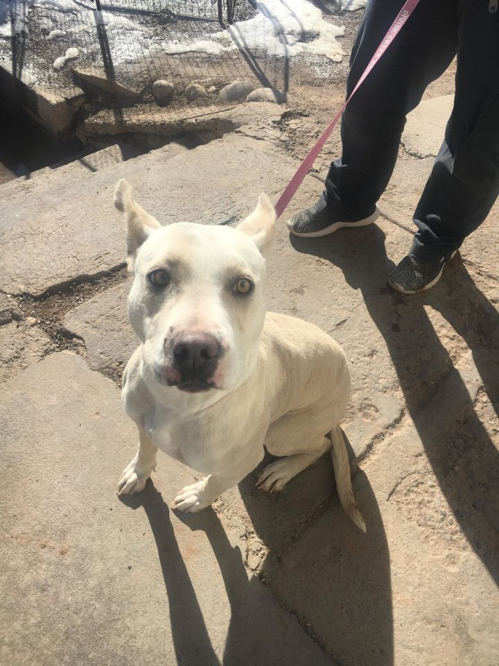 Elsa, an adopted Pit Bull Terrier Mix in Rifle, CO