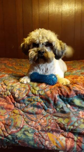 CHIP, an adopted Lhasa Apso & Terrier Mix in Gillsville, GA