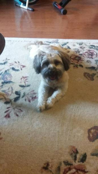 QUESO, an adoptable Lhasa Apso & Terrier Mix in Gillsville, GA