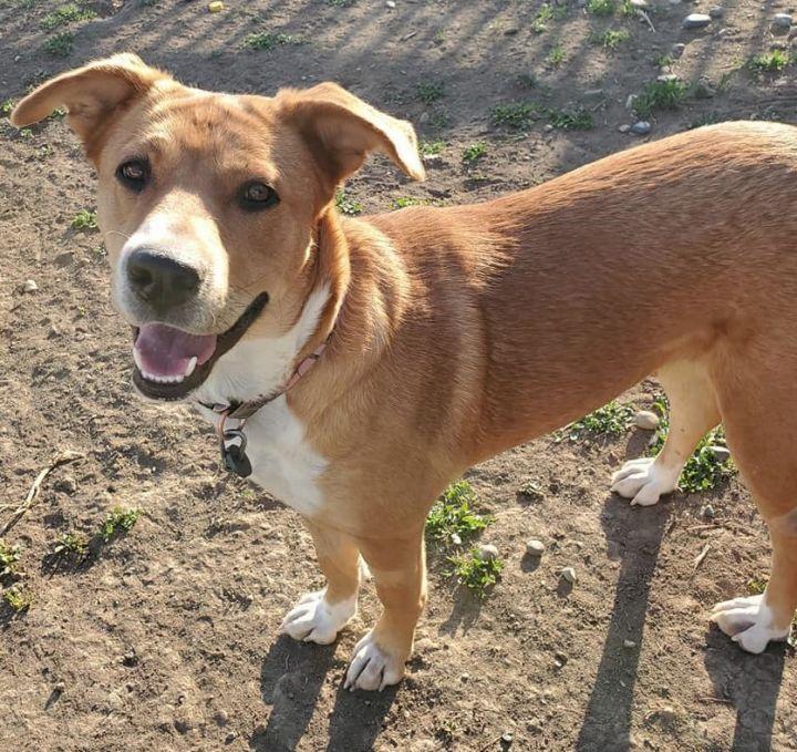 Dog For Adoption Eva A Shepherd Australian Cattle Dog Blue Heeler Mix In Billings Mt Petfinder