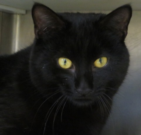 Jeremiah, an adoptable Domestic Short Hair in Carrollton, GA