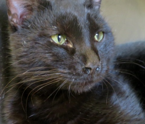 Jaguar, an adoptable Domestic Short Hair in Carrollton, GA