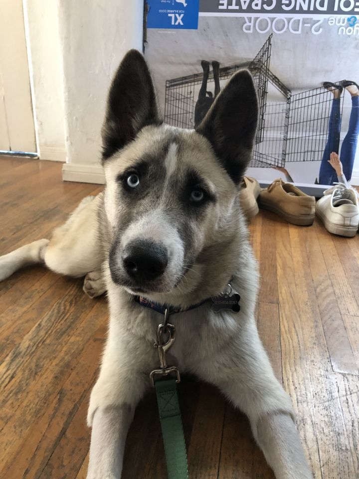 Jack, an adopted Husky Mix in Los Angeles, CA