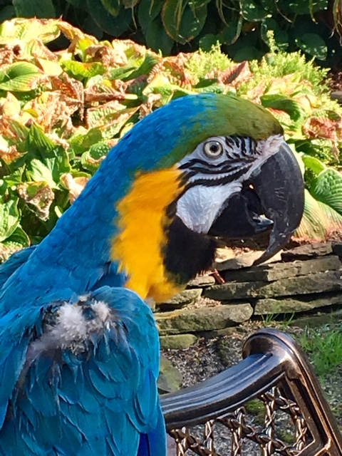 Earthquake, an adopted Macaw in North Babylon, NY