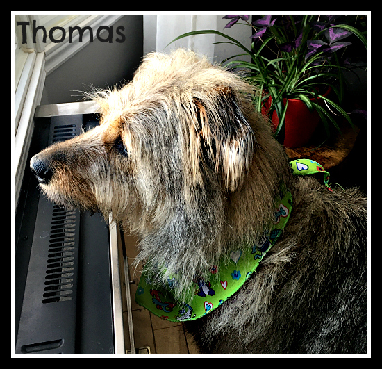 Thomas II (needs experienced adopter), an adopted Mixed Breed in Montreal, QC