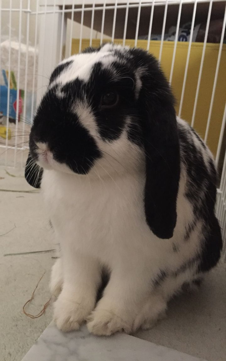 Skylar, an adopted Mini Lop in Livermore, CA