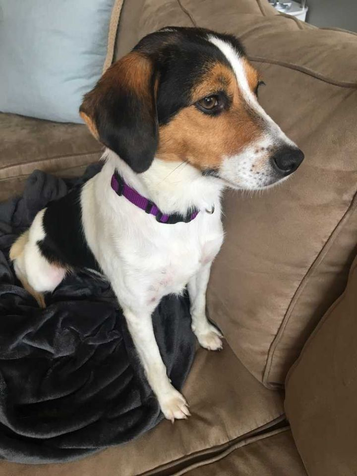 Lucie Madison, an adoptable Beagle Mix in New Albany, OH