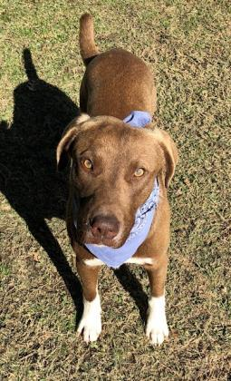 Barclay, an adoptable Labrador Retriever Mix in Dallas, TX