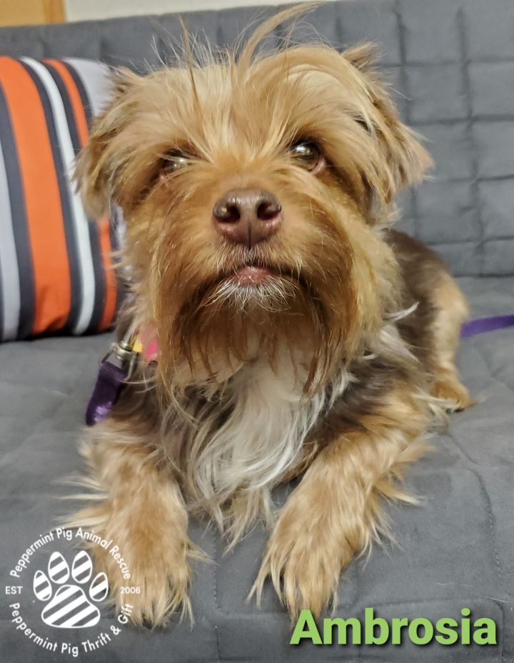 Ambrosia, an adopted Yorkshire Terrier Mix in Cincinnati, OH