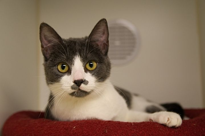 Bamboo, an adopted Domestic Short Hair in Bellingham, WA