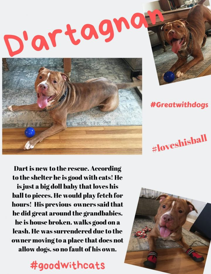D'artagnan, an adopted Staffordshire Bull Terrier in Lexington, KY