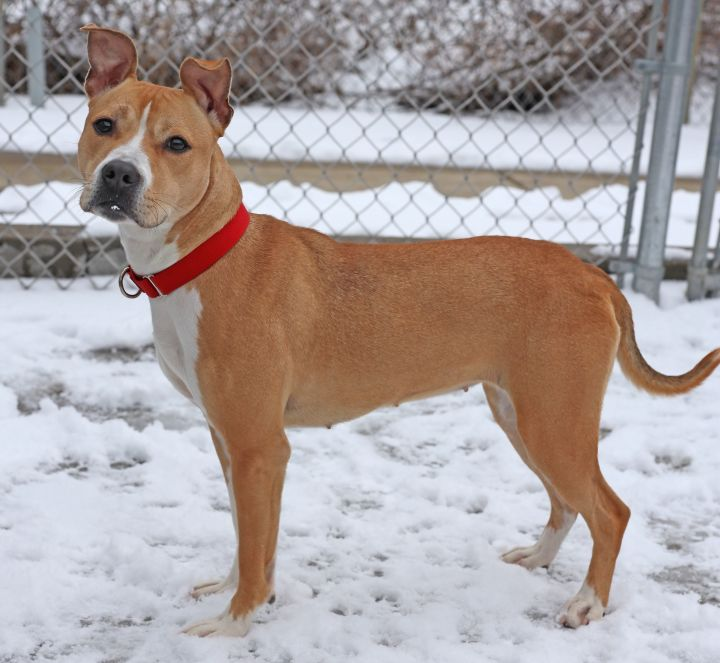 Kezzie, an adopted Terrier Mix in Naperville, IL