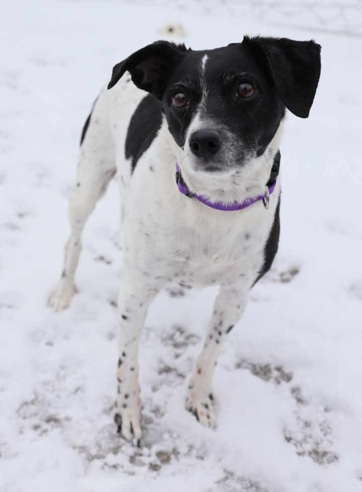 Lacie, an adoptable Jack Russell Terrier Mix in Naperville, IL
