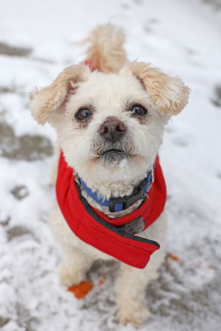 Peluche, an adopted Poodle Mix in Naperville, IL