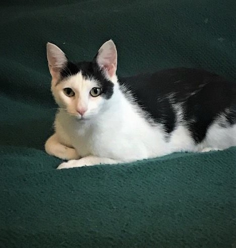 Kat, an adoptable Domestic Short Hair Mix in Waterford, MI