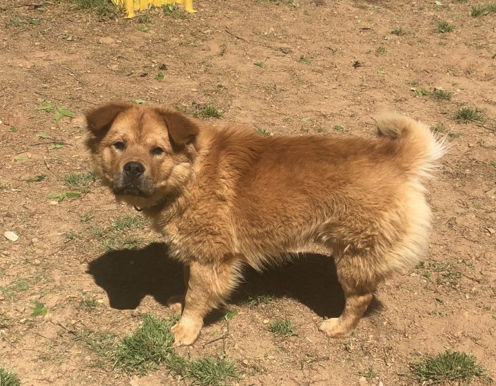 Joey, an adoptable Chow Chow Mix in Conover, NC