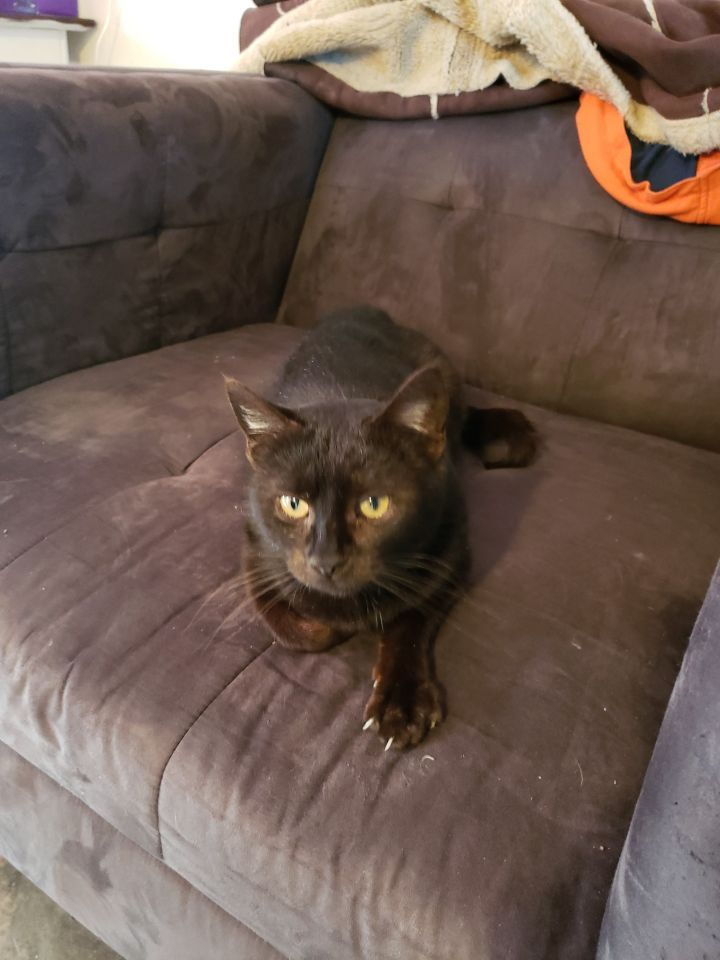 Luna, an adoptable Domestic Short Hair in Manhattan, KS