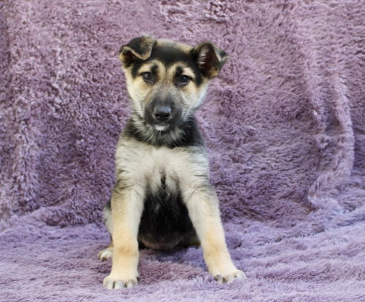 Lilo, an adopted Shepherd & Husky Mix in Los Angeles, CA