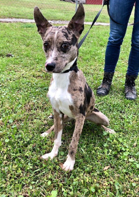 Butterfly, an adoptable Rat Terrier & Catahoula Leopard Dog Mix in Carencro, LA
