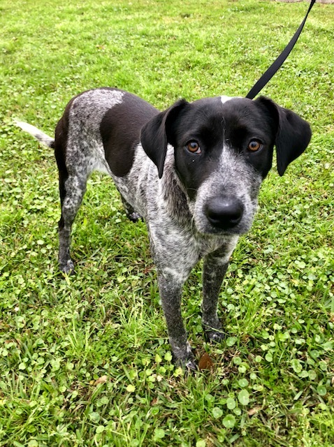 Smartie Poo, an adoptable Australian Cattle Dog / Blue Heeler & Catahoula Leopard Dog Mix in Carencro, LA