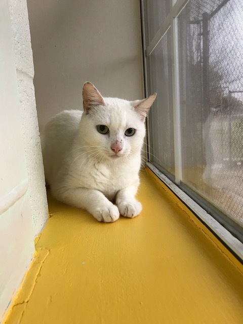 Single White Female, an adoptable Domestic Short Hair Mix in Carencro, LA