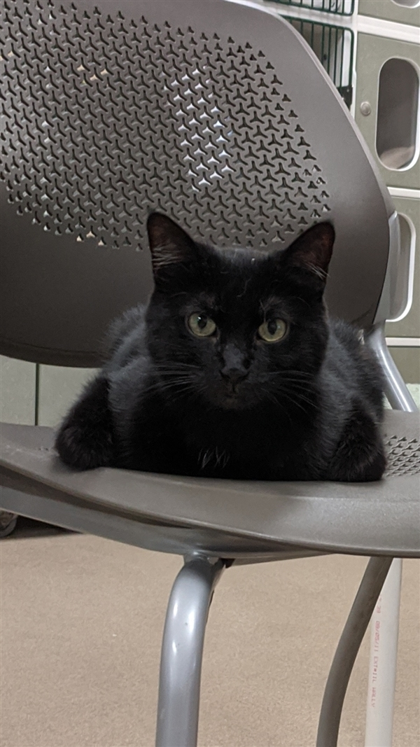 Ishtar, an adoptable Domestic Short Hair Mix in Columbus, OH