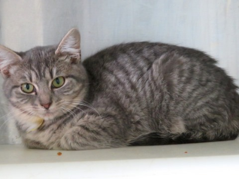 Jeaven, an adoptable Tabby & Domestic Short Hair Mix in Carrollton, GA
