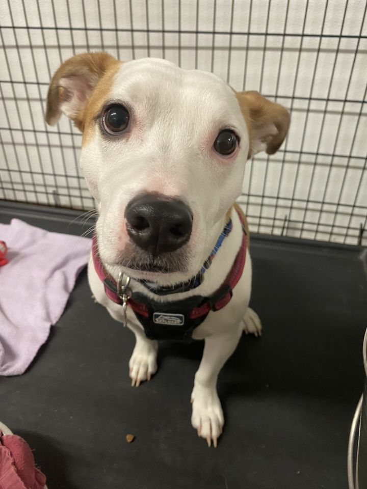 GIZMO, an adoptable Jack Russell Terrier Mix in Dallas, PA