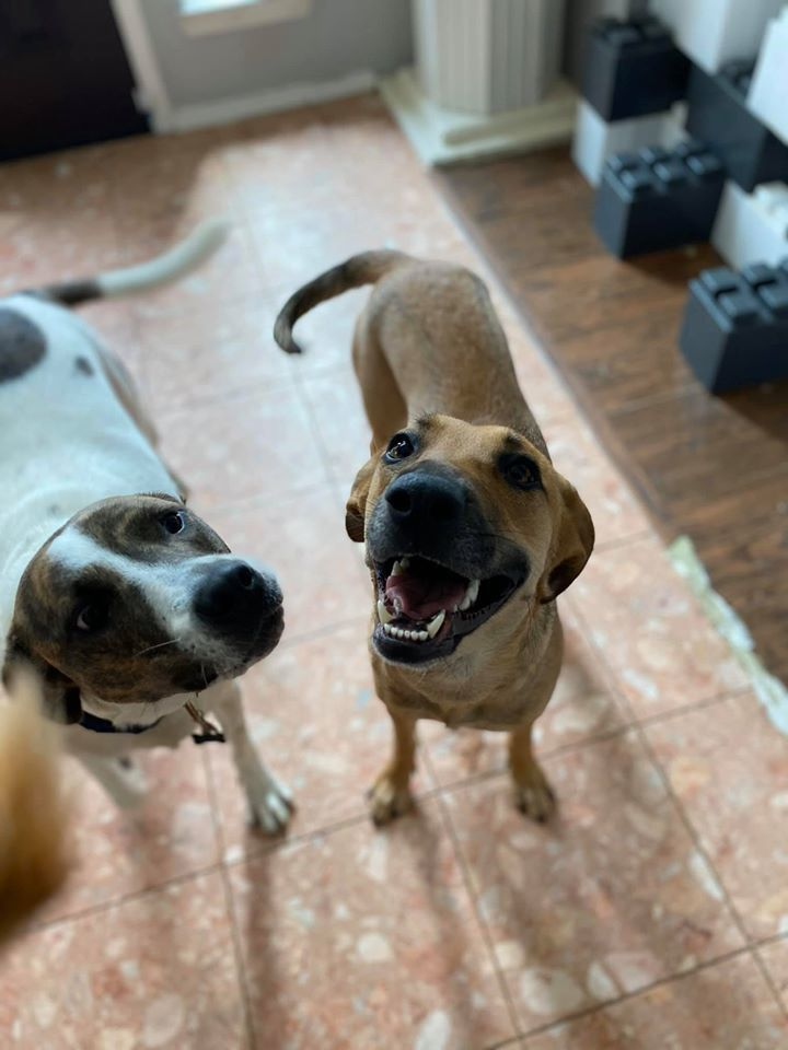 Honey, an adoptable Black Mouth Cur Mix in Dallas, TX