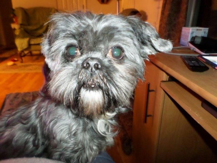 Snickers, an adopted Shih Tzu in Brockport, NY