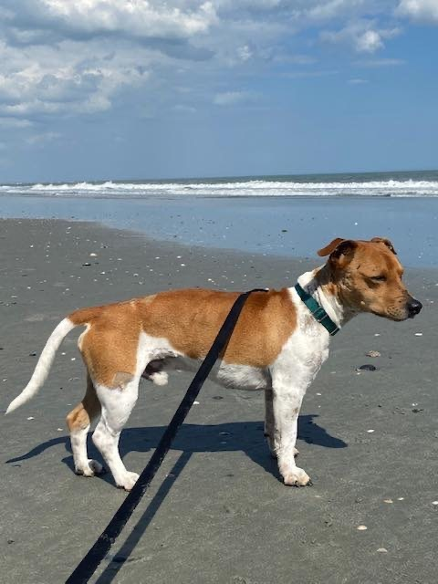 Dimitri, an adopted Beagle & Jack Russell Terrier Mix in Pawleys Island, SC