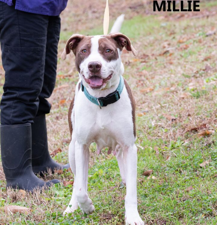 Millie, an adopted Pointer & Terrier Mix in Washington, GA