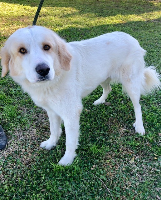 Walter, an adopted Great Pyrenees & Collie Mix in Carencro, LA