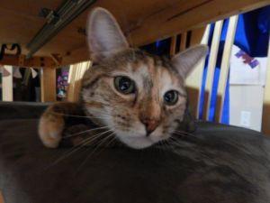 Dr. Callie - Indoor/Outdoor Cat