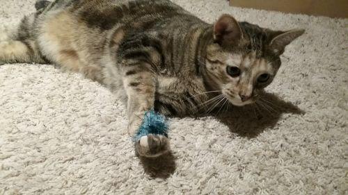 Dr. Callie - Indoor/Outdoor Cat 4